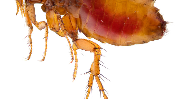 Get Rid Of Fleas In House And Treat Flea Bites On Humans Fast