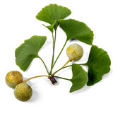 ginkgo-biloba-fruit-leaves