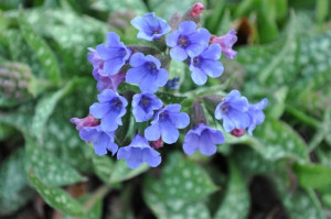 Lungwort-flower