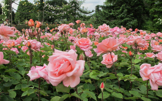 Top 9 Beautiful Flowers That Look Like Roses
