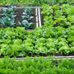 Growing Vegetables in Shade