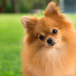 Pomeranian Cuts for Summer