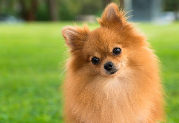 Pomeranian Cuts For Summer Everything You Should Know