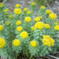 How To Take Rhodiola And Its Benefits And Side Effects