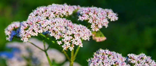 Valerian – Valeriana Officinalis Usage