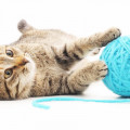 cat plays with toy