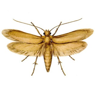 Best Home and Natural Remedies to Get Rid of Moth