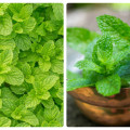peppermint and spearmint