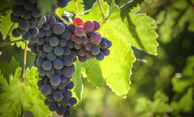 Grapes Growing Tips