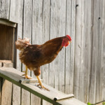 The Best Automatic Chicken Coop Doors