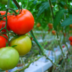 How to Ripen Tomatoes Indoors